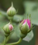 Rosafarbene Knospen des Rosas Stockfotografie