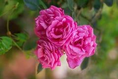 Rosafarbene Knospen des Rosas Stockbild