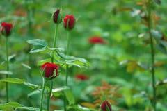 Rosafarbene Knospen des Rotes lizenzfreies stockbild
