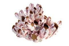 Rosafarbene Koralle Stockbilder
