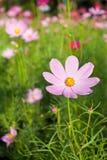 Rosafarbene Kosmos-Blumen lizenzfreie stockbilder