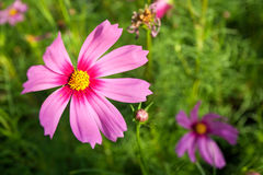 Rosafarbene Kosmos-Blumen lizenzfreie stockfotos