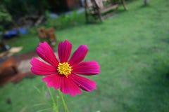 Rosafarbene Kosmosblume Stockfoto