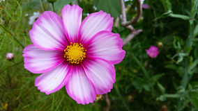 Rosafarbene Kosmosblume Stockfotografie