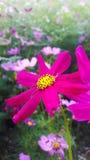 Rosafarbene Kosmosblume Lizenzfreies Stockfoto