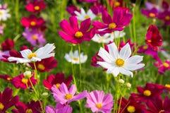 Rosafarbene Kosmosblumen Stockbilder