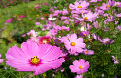 Rosafarbene Kosmosblumen Stockfotos