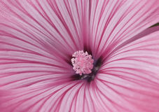 Rosafarbene Lavatera-Blume Stockfotografie