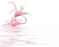 Rosafarbene Lilie stockfotos