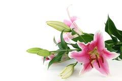 Rosafarbene Lilie stockbilder