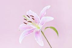Rosafarbene Lilie auf Rosa Stockbild