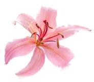 Rosafarbene Lilie auf Weiß Stockfoto