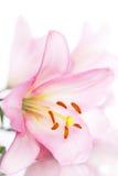 Rosafarbene Lilie auf Weiß Lizenzfreie Stockfotos