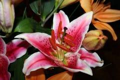 Rosafarbene Lilie in der vollen Blüte Stockfoto