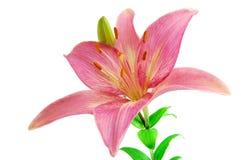 Rosafarbene Lilie getrennt auf weißem Hintergrund Stockbilder
