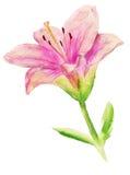 Rosafarbene Lilie mit Blättern Stockfotos