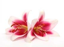 Rosafarbene Lilien Stockbilder