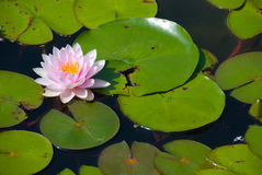 Rosafarbene Lilienblume Stockfoto