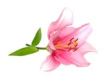 Rosafarbene Lilienblume Stockfotos