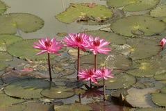 Rosafarbene Lilienblume Lizenzfreies Stockfoto