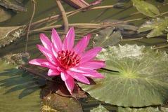 Rosafarbene Lilienblume Stockfotografie