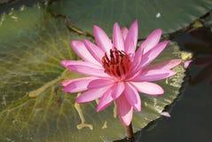 Rosafarbene Lilienblume Lizenzfreie Stockbilder