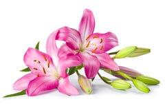 Rosafarbene Lilienblume getrennt auf Weiß Stockfotos