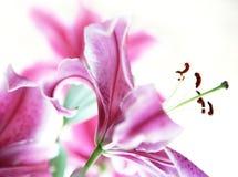 Rosafarbene lilys Lizenzfreie Stockfotografie