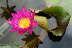 Rosafarbene Lotos Blume Lizenzfreies Stockfoto