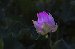 Rosafarbene Lotosblume Stockfotografie