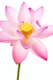 Rosafarbene Lotosblume und weißer Hintergrund Stockbild