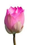 Rosafarbene Lotosblumen Lizenzfreie Stockbilder