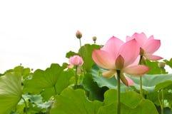 Rosafarbene Lotosblumen der Blüte Stockfotos