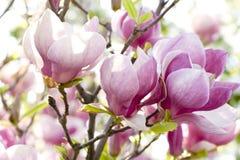 Rosafarbene Magnolie Stockbilder