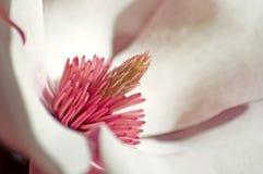 Rosafarbene Magnolie stockfotos