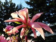 Rosafarbene Magnolieblume Stockbild