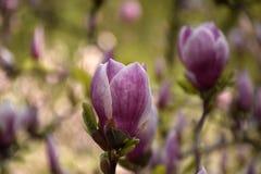 Rosafarbene Magnolieblume Stockbilder