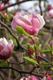 Rosafarbene Magnolieblumen Stockbilder