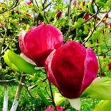 Rosafarbene Magnolieblumen Stockfotos