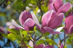 Rosafarbene Magnolieblumen Blühende Japan-Kirschbaumnahaufnahme Lizenzfreie Stockbilder