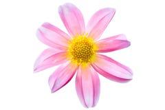 Rosafarbene Makrodahlie mit Weiß und Gelb Lizenzfreie Stockbilder