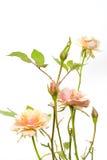 Rosafarbene Minirosen mit Exemplarplatz Lizenzfreie Stockfotos