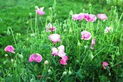 Rosafarbene Mohnblume stockfoto