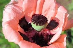 Rosafarbene Mohnblumeblume Lizenzfreie Stockbilder