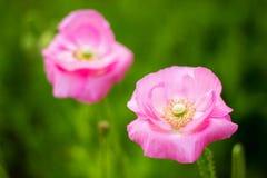 Rosafarbene Mohnblumeblumen Lizenzfreies Stockfoto