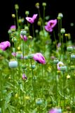 Rosafarbene Mohnblumen Stockbilder