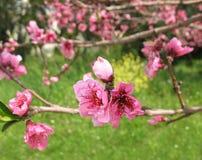 Rosafarbene Nektarine-Blumen und Knospe Stockfotografie