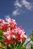 Rosafarbene Oleander-Blumen, blaue Himmel, weiße Wolken Stockfotografie