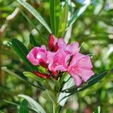 Rosafarbene Oleanderblumen Lizenzfreie Stockfotografie