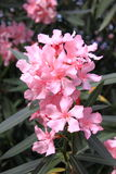 Rosafarbene Oleanderblumen Stockfoto